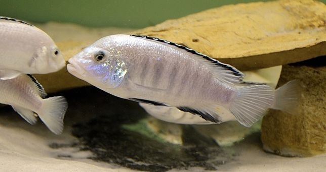 Labidochromis caeruleus Nkhomo Reef pyszczaki Malawi World