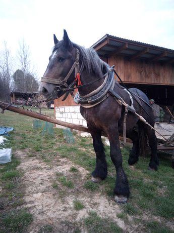 Sprzedam konie zimnokrwiste