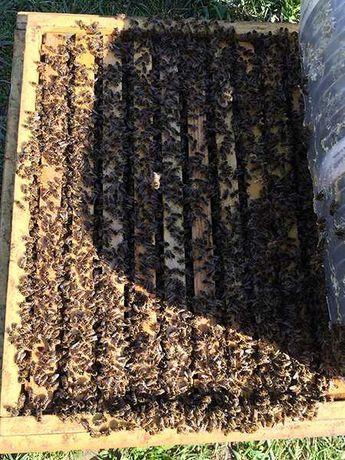 Продаж бджіл (пчелы, пчелиные семьи, бджоли, бджолині сім'ї)