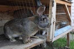 Продам кролів(жива вага) Кролі на продаж живі кролики