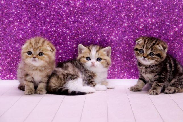Чистокровные красивые котятки