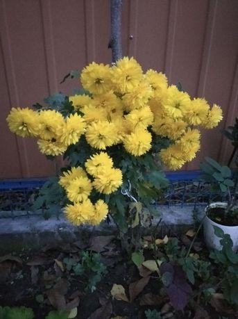 Хризантемы крупные и средние.
