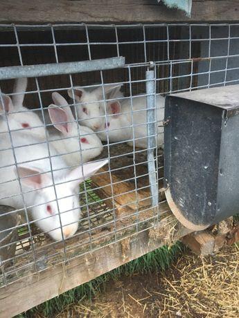 Продам кроликов Хилла