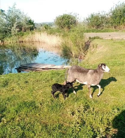 Zamienię na kozę mleczną owcę z małą owieczką