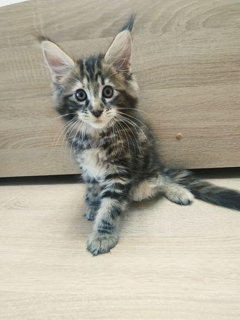 У продажу кошенята Мейн-куни від заводчика.