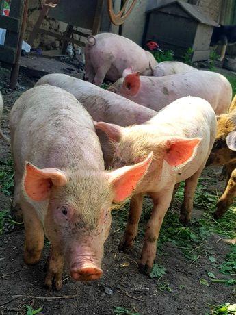 Свині,поросята 5 тижнів
