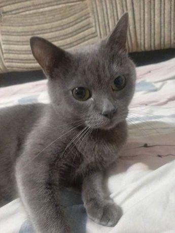Срочно отдам кошку британку , 4 года