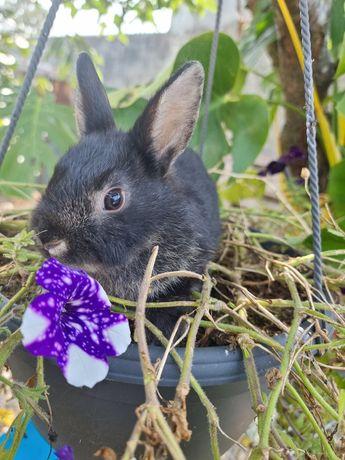 Coelha mini holandês vacinada