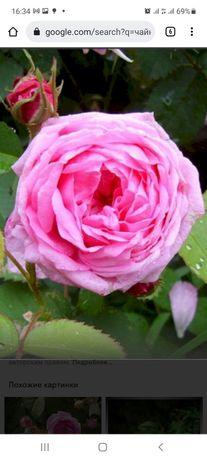Роза чайная для сада