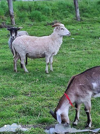 Owce wrzosówki 2 sztuki