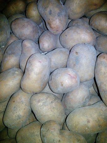 """Насіннева картопля сорт """"Слов'янка"""", перша репродукція, пізня."""