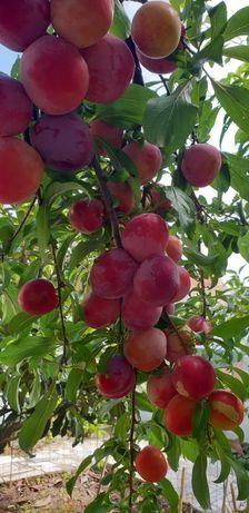 Ameixas Bio   Bio Plums   Prunes Bio