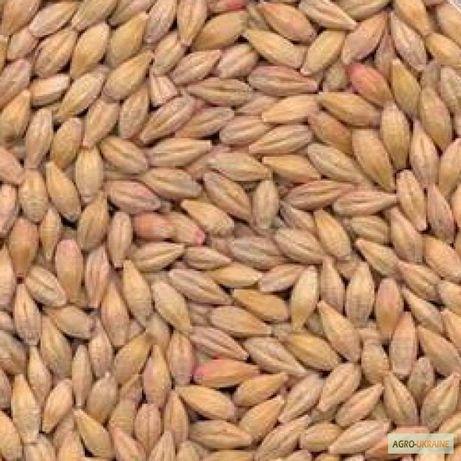 Семена ячменя Канадский трансгенный сорт, насіння ячмня