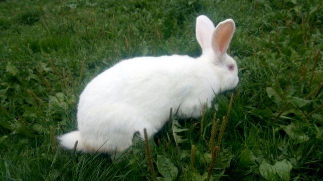 Самець/ самочки кролі