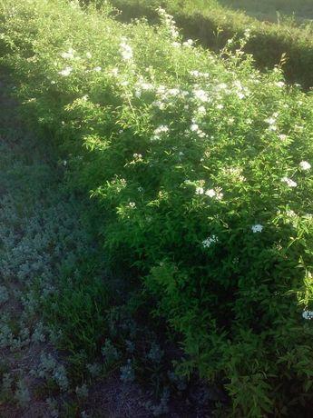 Продам растения для формирования живой изгороди