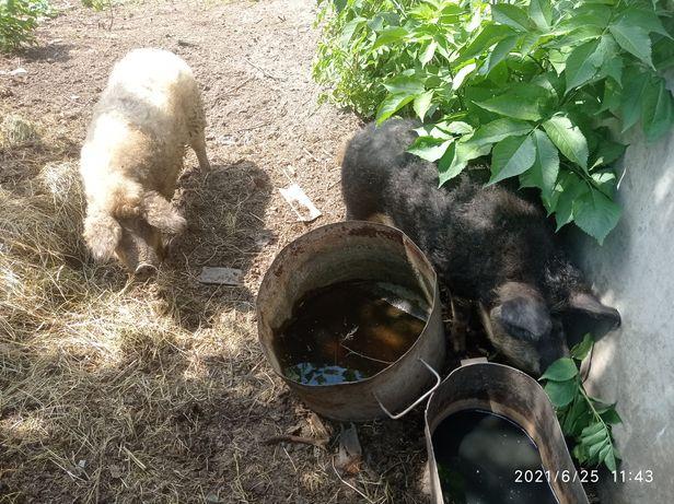 Продам свинок породы Венгерская мангалица