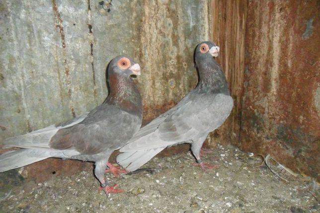 gołębie brodawczaki