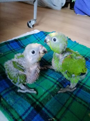 амазон птенчики