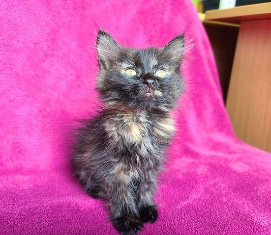 Чудо гномик котёнок Магика ! 2.5 месяца (кот, кошка)