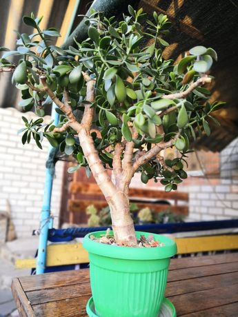 Денежное дерево растение