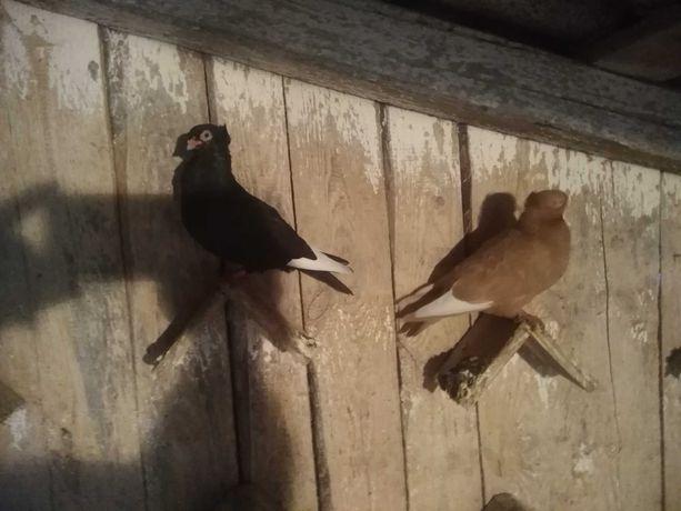 Gołębie wywrotki( fajferki)