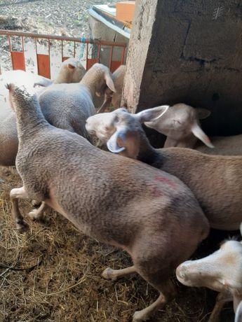 Ovelhas guardadas Border Collie
