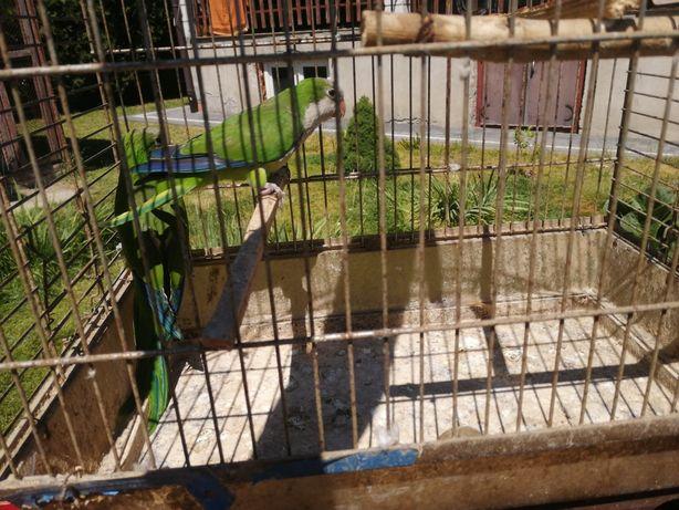 Papugi para lęgowa