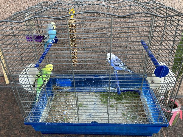 Papugi,papużki faliste