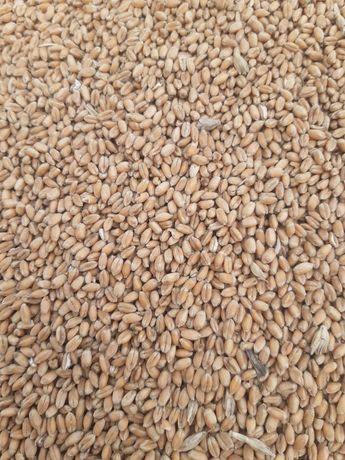 Продам насиневу пшеницю Феликс