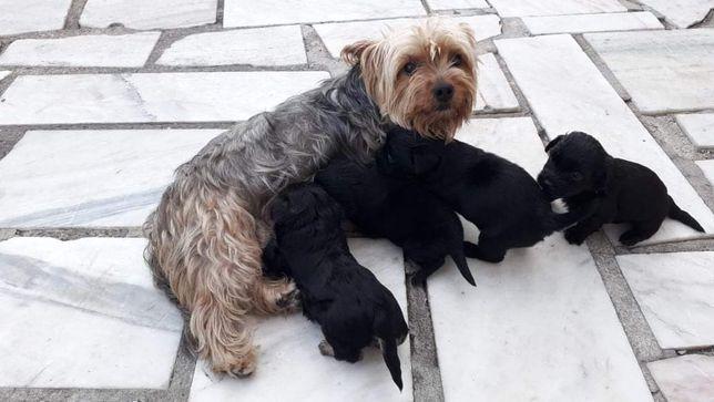 Cachorros Yorkshire arraçados