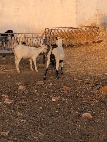 Vendo 2 cabras e 2 chibas