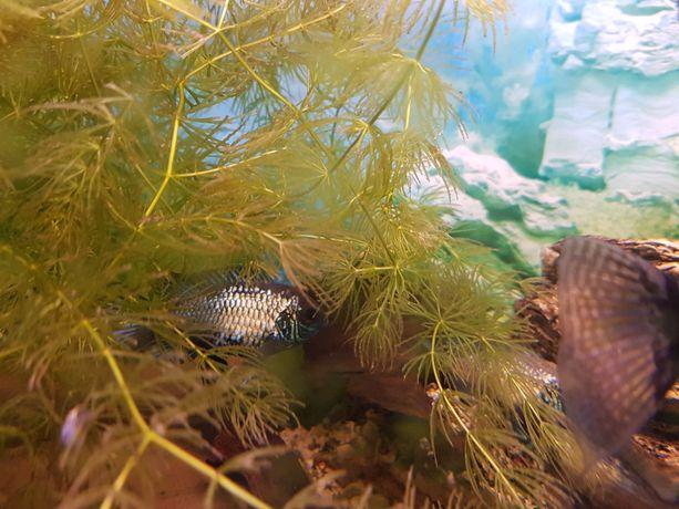 Rogatek akwarium na start roślinka dla żółwia