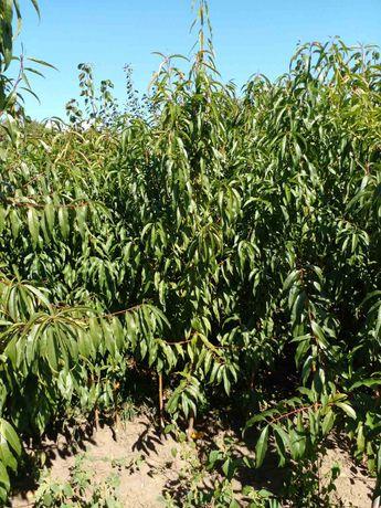 Продам саджанці персика, корінь мигдаль.