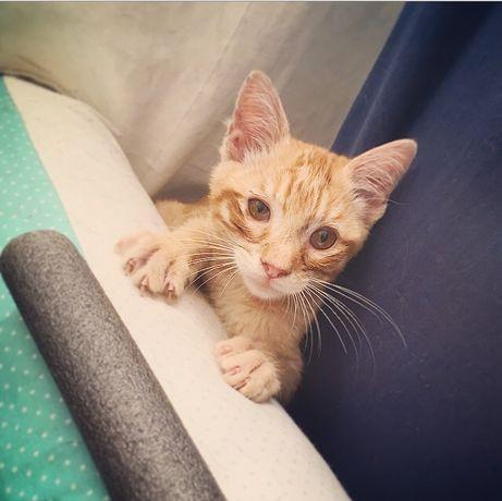 Da Vinci - Gato Amarelo Bebe para Adopção