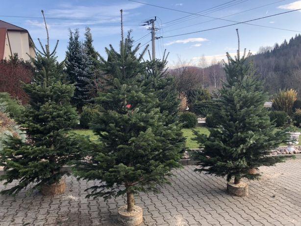 Choinki Świąteczne  JODŁA KAUKASKA  Bożonarodzeniowe