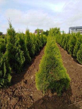 tuja smaragd-producent 60,70,90,100,120,140,160,180,200cm jałowiec