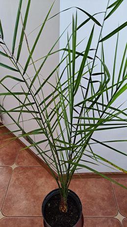 Palma daktylowa 1,6m