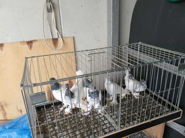 Gołębie Budapeszty