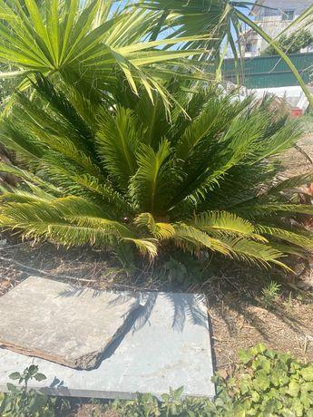 Cycas palmeira …….