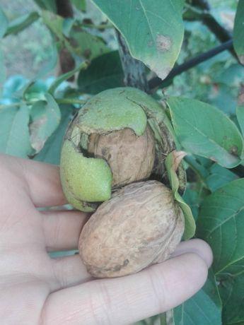 Саджанці волоського (грецького) горіха сорту Кочерженко