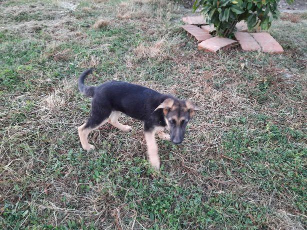 Cachorra de cão pastor alemão