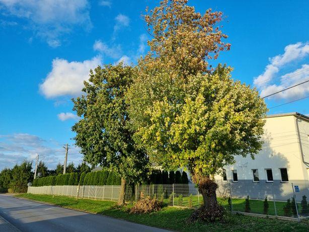 Drzewa oddam klon 2 szt.