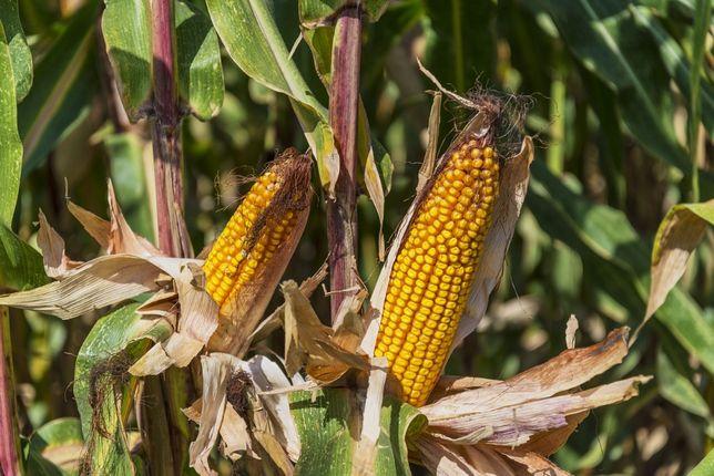DKC 3939 FAO 270/280 nasiona kukurydzy