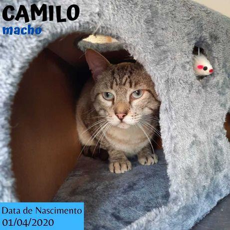 Gato Para Adoção (Camilo)
