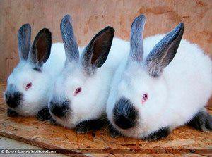 Кролики каліфорнійські, білий панон, полтавське срібло