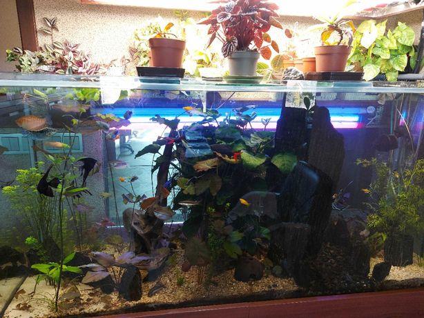 cryptocoryne moczarka lotos tygrysi roślinki pływające rybki