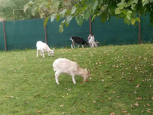 Kozy. do hodowli