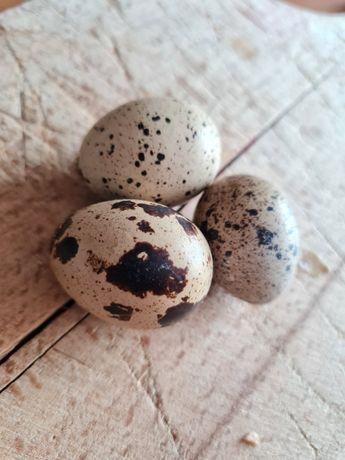 Jajka jaja przepiórcze  konsumpcyjne od dziadziusia