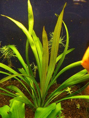 Ехінодорус Триколор Echinodorus tricolor больбітіс анубіас буцефаландр