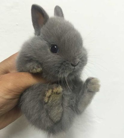KIT completo coelhos anões mini holandês e minitoy
